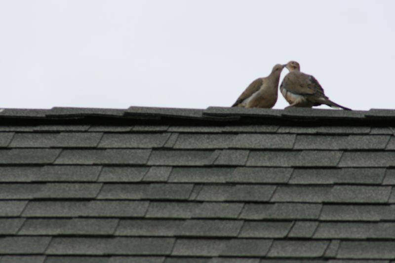 Mourning Doves 025