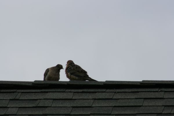 Mourning Doves True Quot Love Birds Quot Joyfully Green