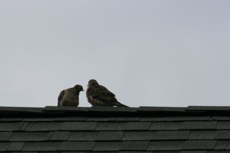 Mourning Doves 015