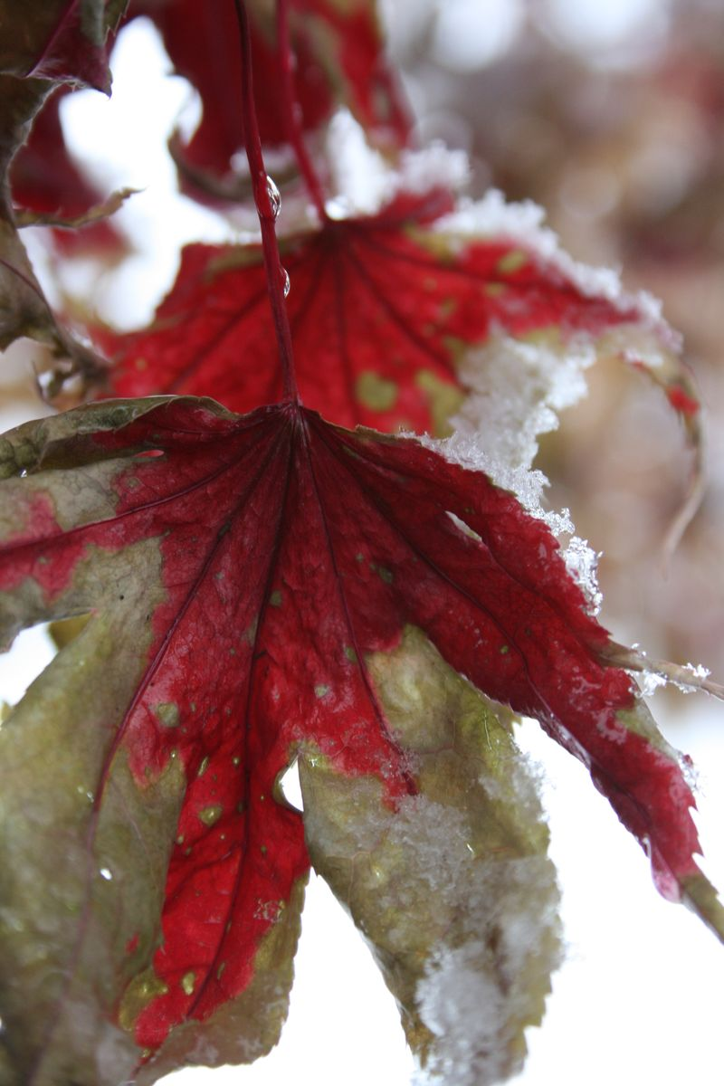 Japanese Maple in snow 033