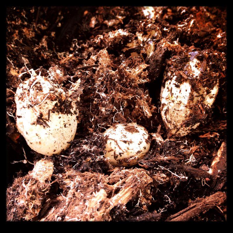 Stinkhorn Eggs