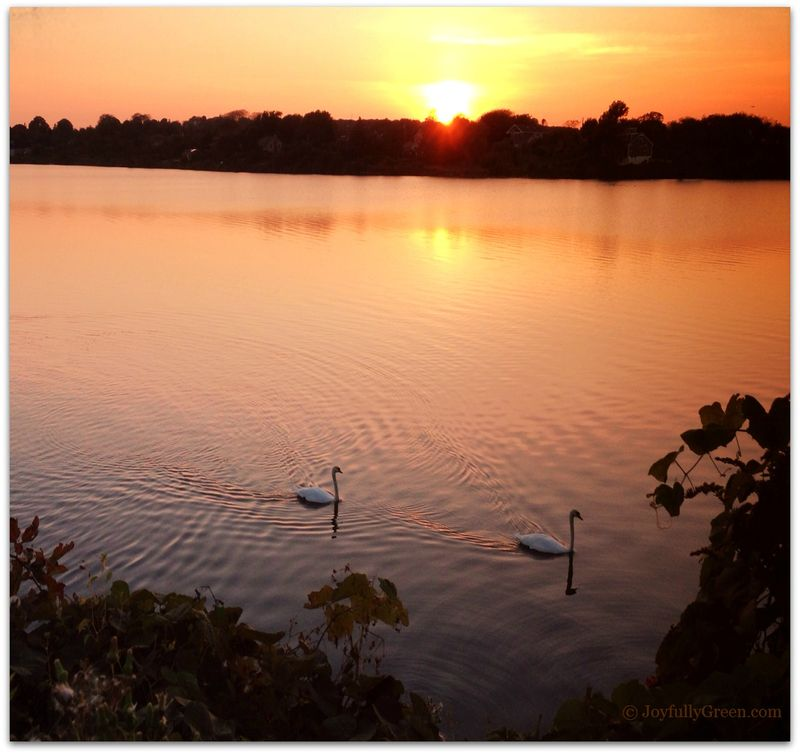 Swans4c