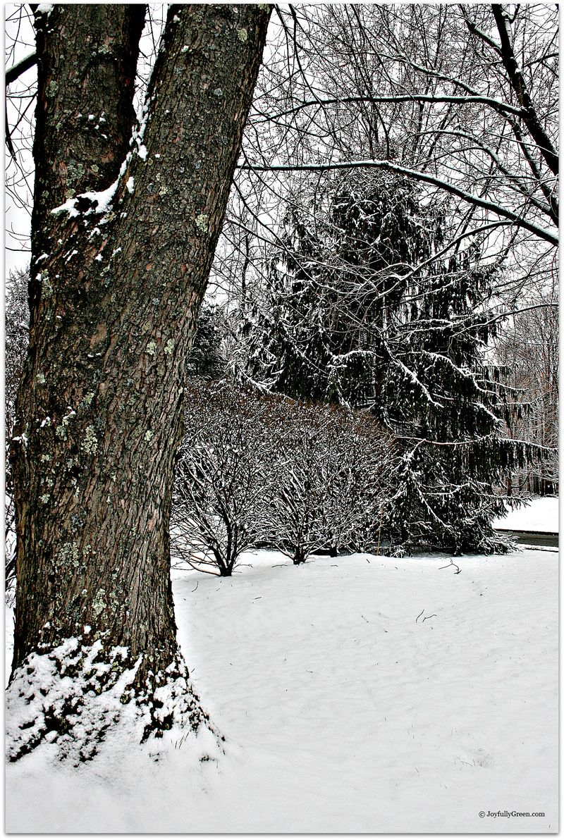 Snowy Trees 1