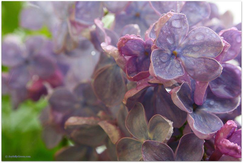 LilacsInRain