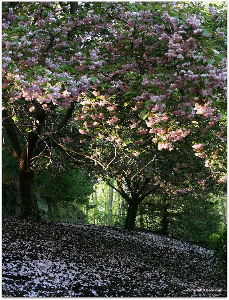 SpringtimeBlossoms2