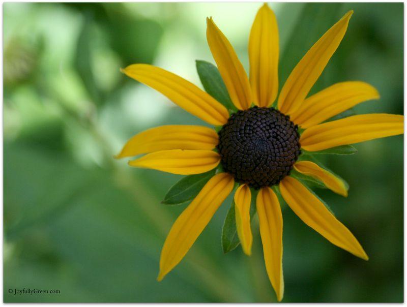 Yellow Bloom © JoyfullyGreen