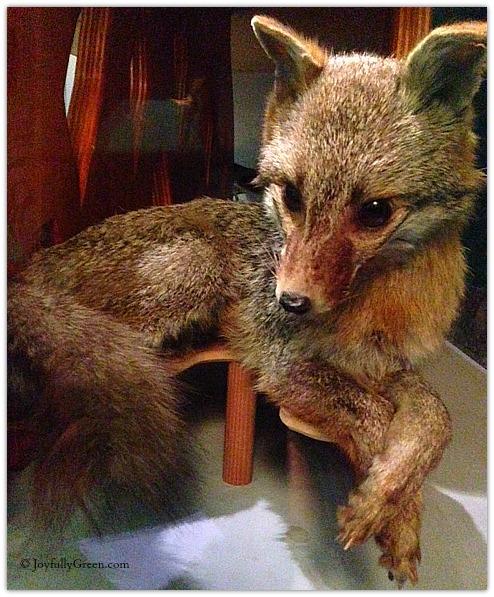 Fox © JoyfullyGreen