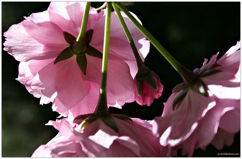 PinkBlooms