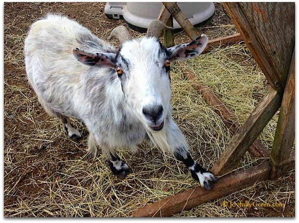 Goat by JGC
