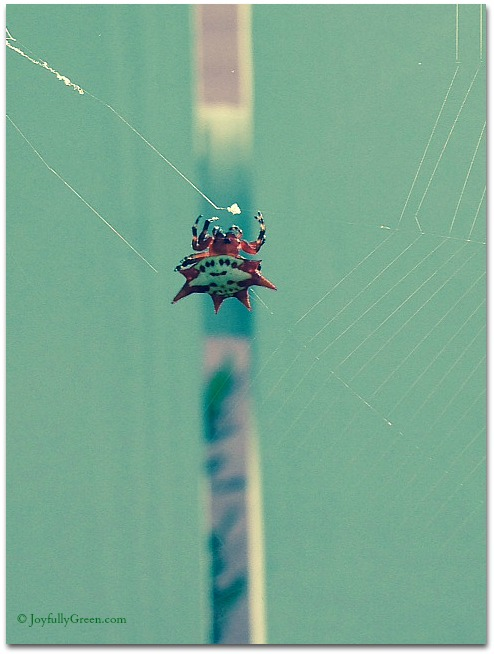 Bahamas red spider © Joyfully Green