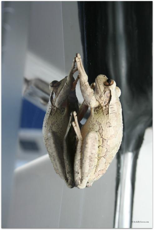 Bahamas Toad © Joyfully Green