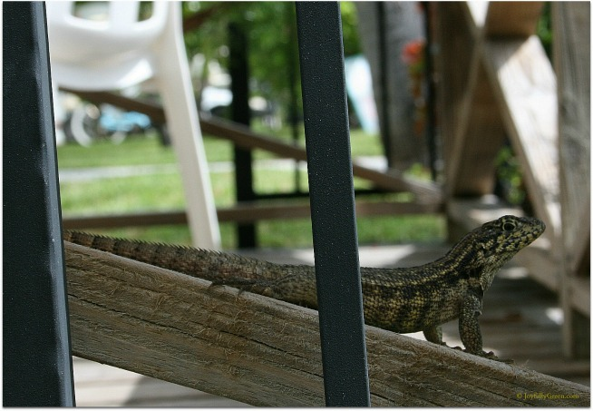 Bahamas Lizard 2 © Joyfully Green