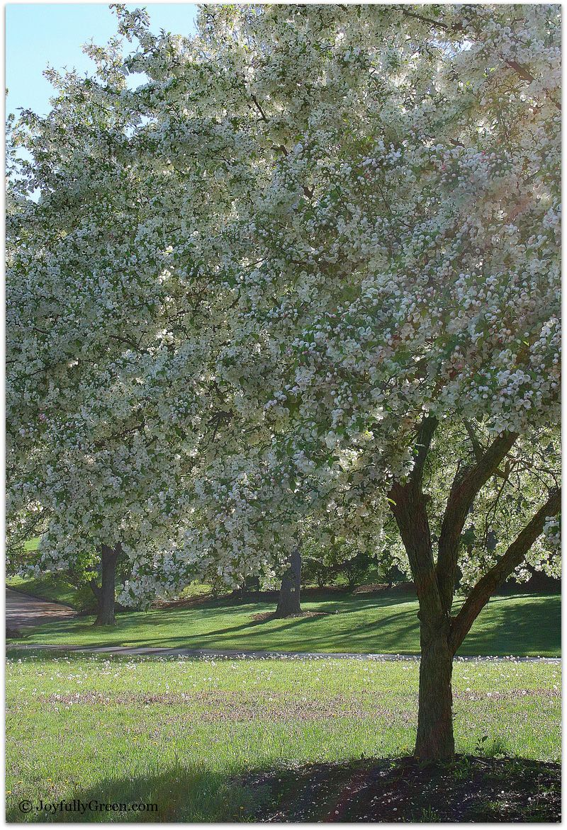Popcorn Trees