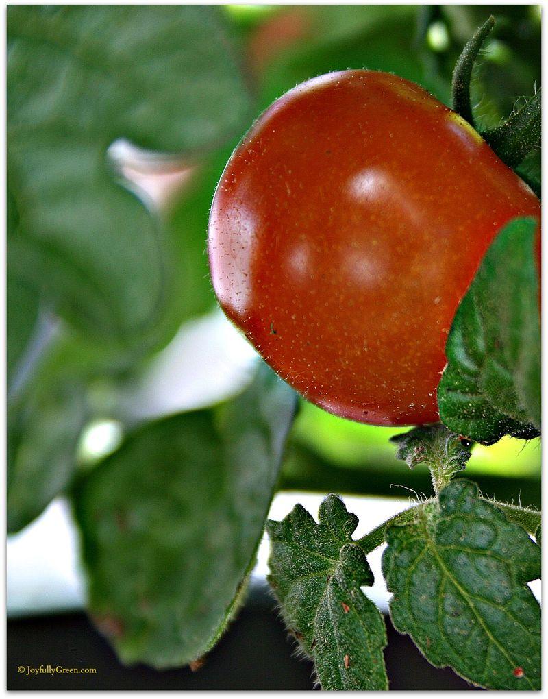 Tomato by Joyfully Green