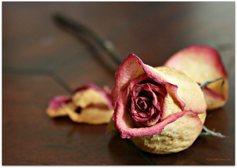 Old Rose by JoyfullyGreen