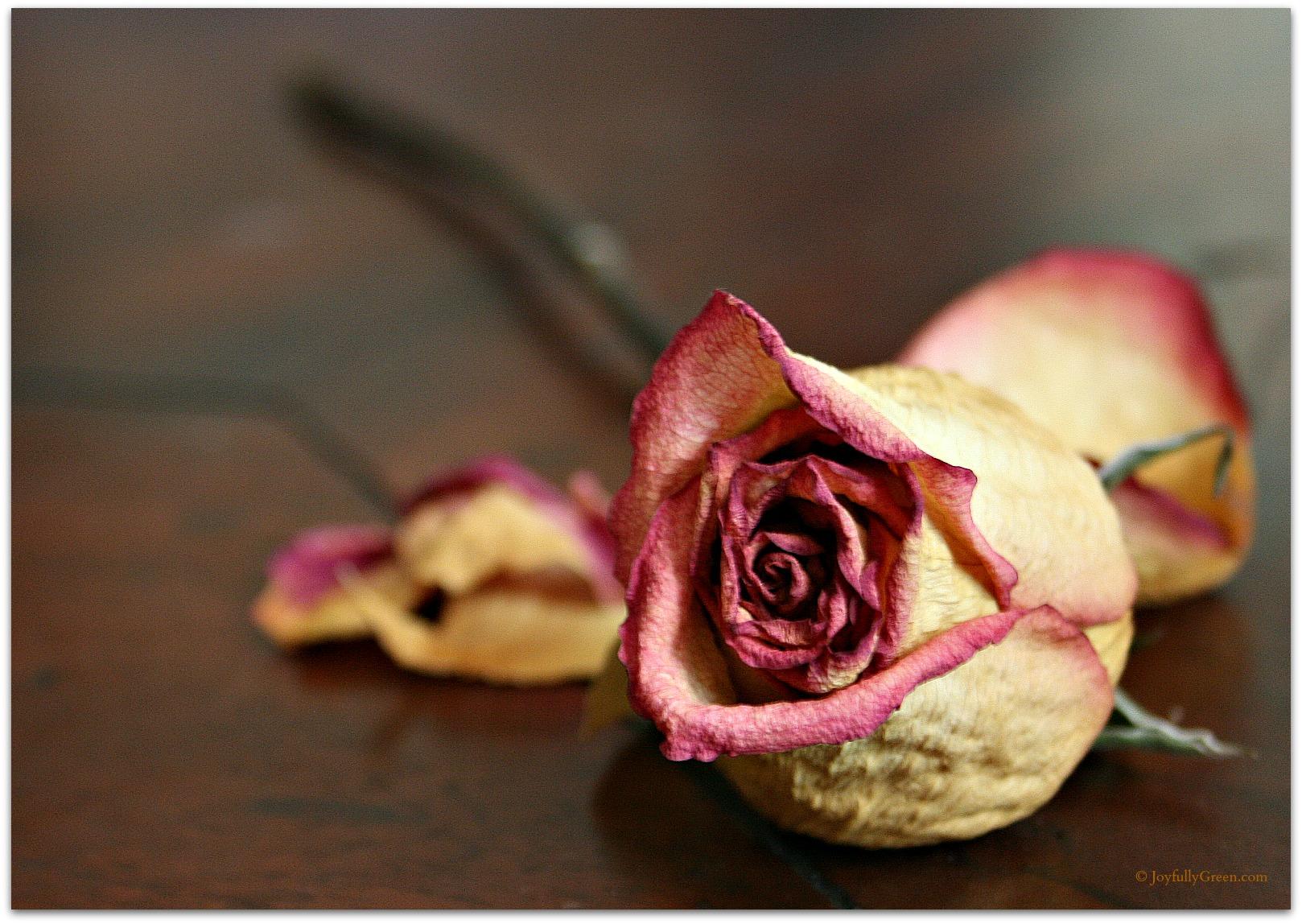 Monday Snapshot: The Fragile Beauty of a Faded Rose - Joyfully Green