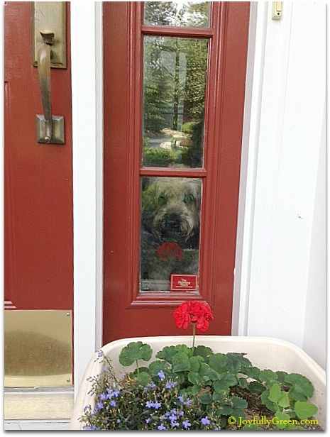 Dog and Red Door © JoyfullyGreen