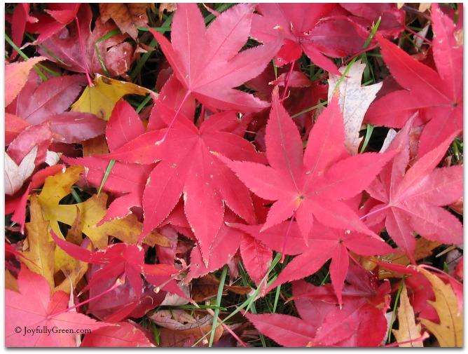 Red Leaves © Joyfully Green