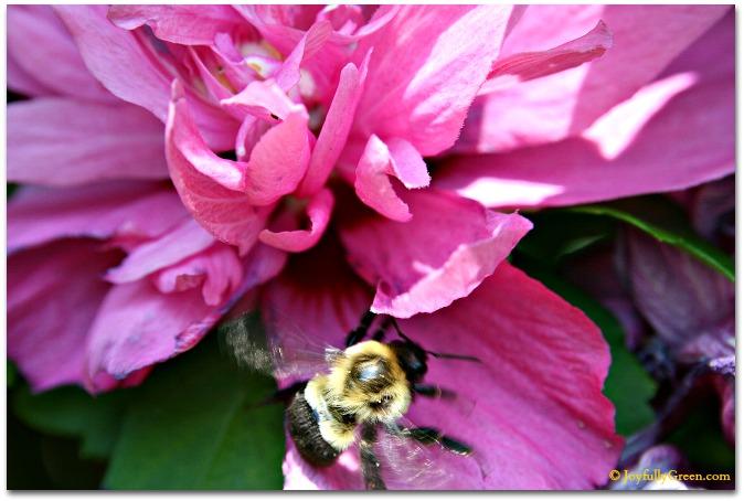 Bee in Rose © Joyfully Green