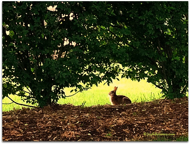 Rabbit © Joyfully Green