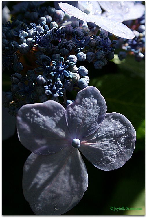 Hydrangea © Joyfully Green