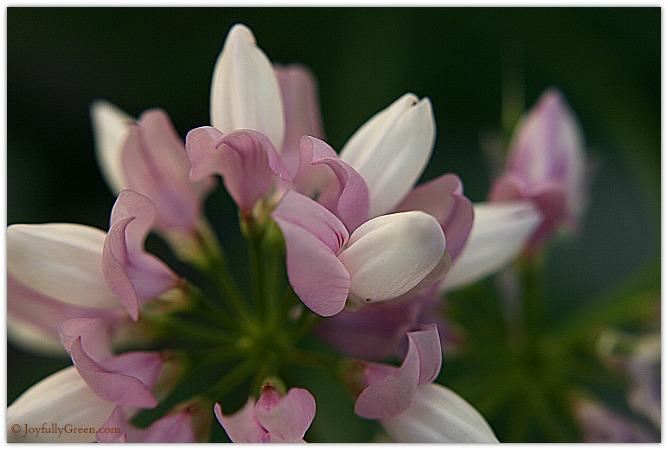 Pretty Weeds © Joyfully Green