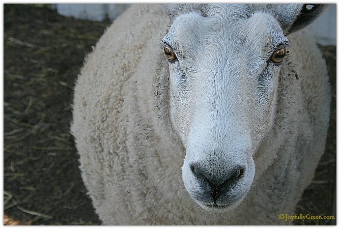 Sheepish © Joyfully Green