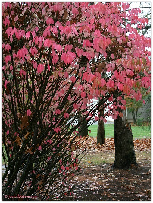Pink Leaves of Autumn by Joyfully Green LLC