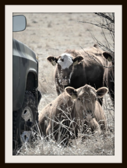 Copyright Jerri DeCarolis Cows Framed