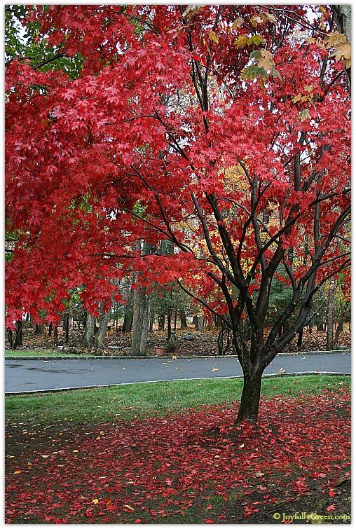 Red Japanese Maple by Joyfully Green