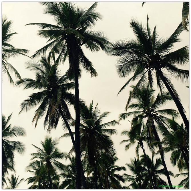 Copyright Michael Graziano Palm Trees2