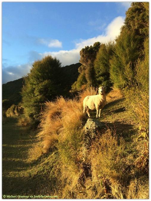 © Michael Graziano-New Zealand Sheep