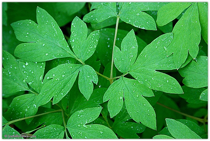 Leaves in Rain 2 © Joyfully Green LLC