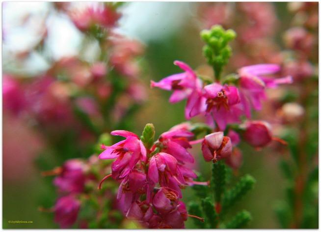 Pink Blossoms © Joyfully Green LLC