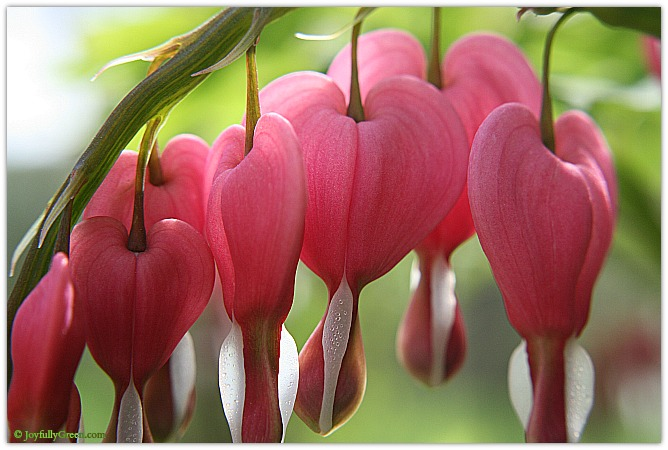 Bleeding Heart Blooms © Joyfully Green LLC