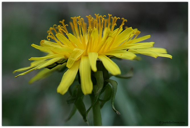 Dandelion Side View © Joyfully Green LLC