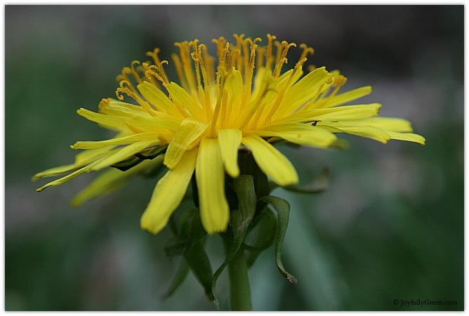 Dandelion Side View © Joyfully Green LLC