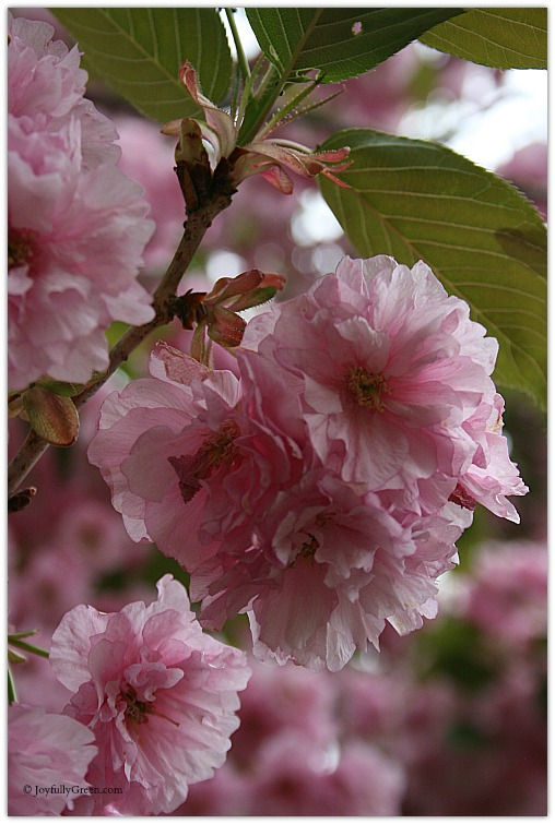 Pink Blossoms 2 © Joyfully Green LLC