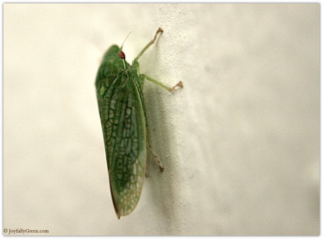 Green Bug Macro © Joyfully Green LLC