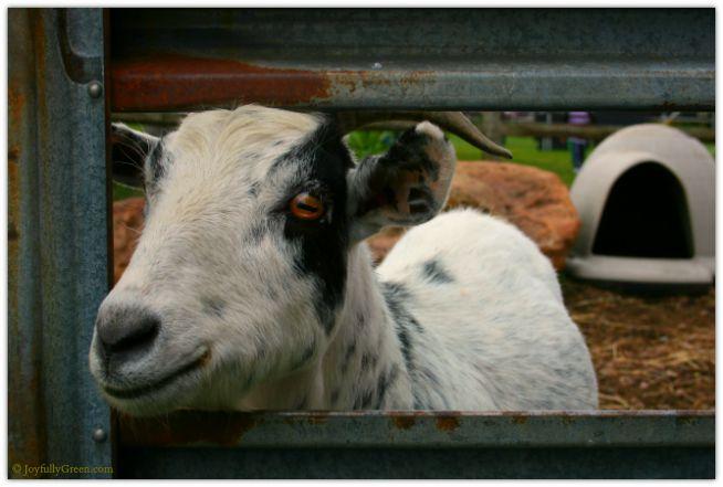 Goat © Joyfully Green LLC