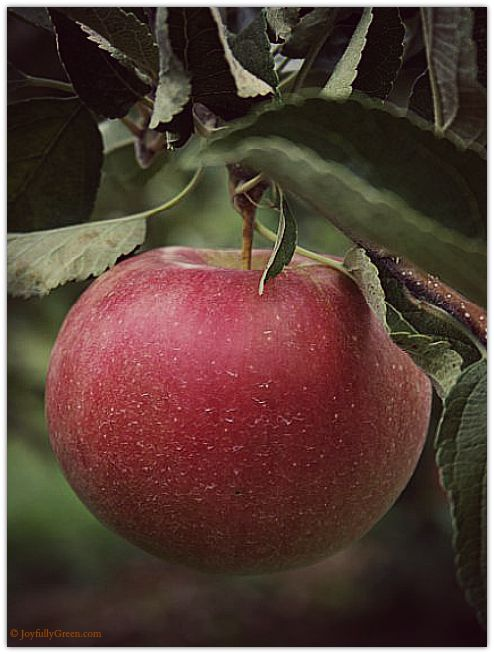Orchard Apple 2 © Joyfully Green LLC