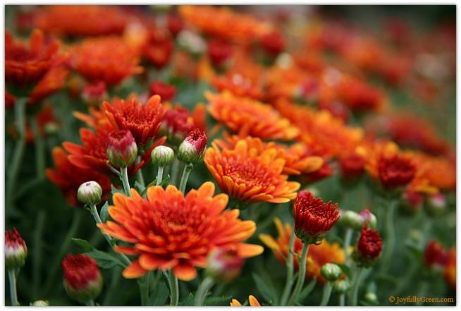Orange Mums © Joyfully Green LLC