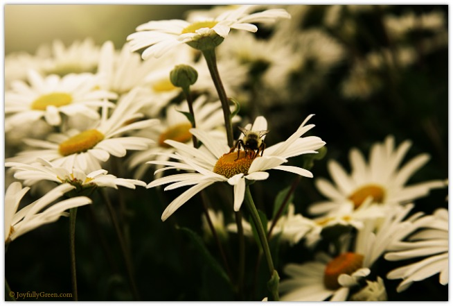 Bee on Daisy © Joyfully Green LLC