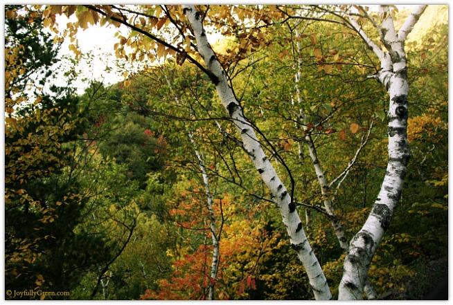 Catskills Birch 4089 © Joyfully Green LLC