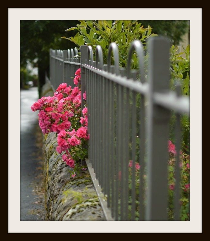 Penny Miller-Art of Photo Aug 2015-FRAMED- rose fence middle ground correct