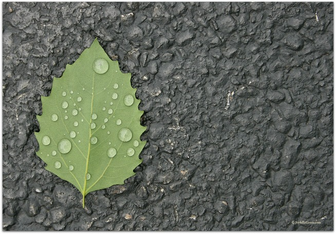 Leaf in Rain resized © Joy Sussman Joyfully Green LLC
