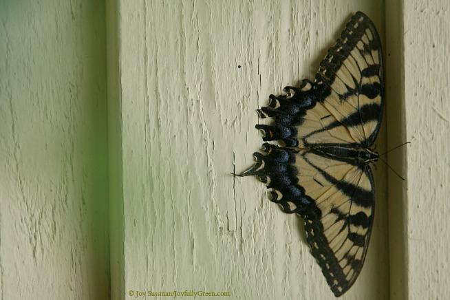 Butterfly IMG_8243 © Joy Sussman - Joyfully Green LLC
