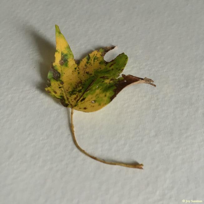 Leaf 654 © Joy Sussman - Joyfully Green LLC