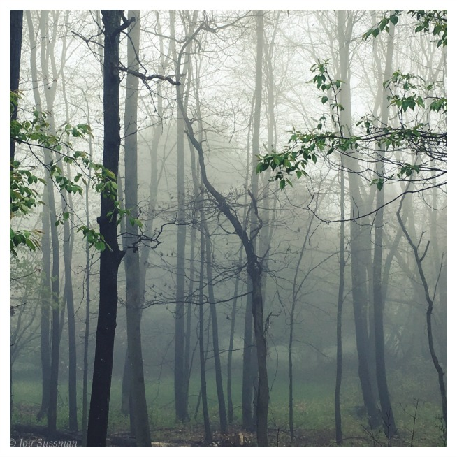 Foggy Forest © Joy Sussman Joyfully Green LLC