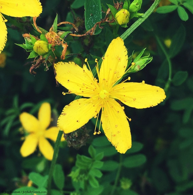 Yellow Wildflower © Joy Sussman - Joyfully Green LLC